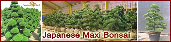 Japanese Maxi Bonsai